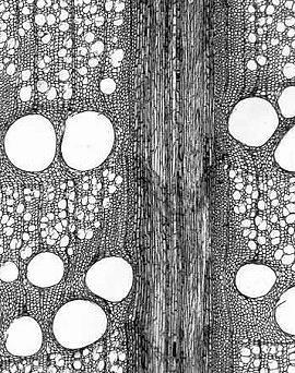 Quercus (oak) transverse section